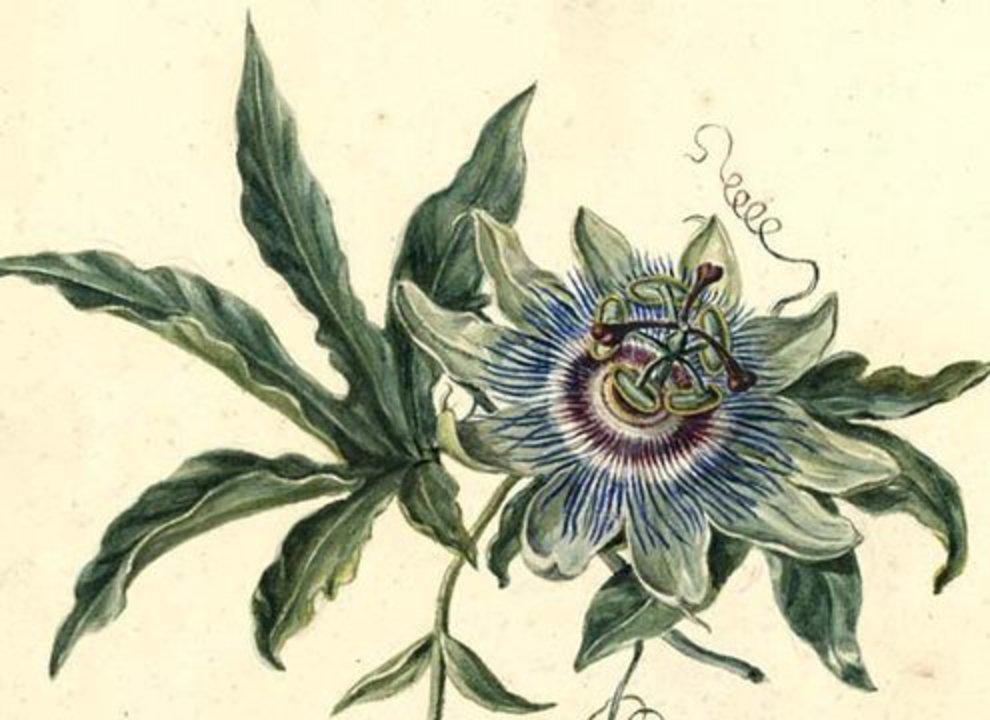 Oude Botanische Prenten : Passie voor bloemen in e en e eeuwse botanische tekeningen